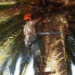 Podas de palmeras en Málaga