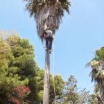 Podas de palmeras en Torremolinos, Málaga, Benalmádena, Mijas.